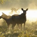 eddie_granlund-moose-4277