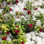 anders_tedeholm-lingonberries-5441