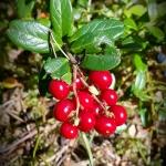 lingon berries stockholm