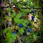 blueberry stockholm