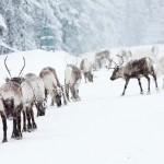 jorgen_wiklund-reindeer-3021
