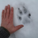 wolf-tracking