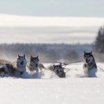 fredrik_broman-dog_sledding-3788