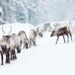 jörgen_wiklund-reindeer-3021
